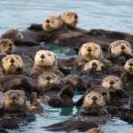 grupo de nutrias marinas